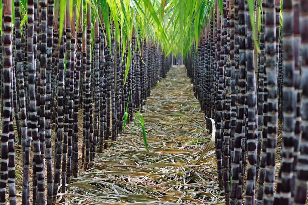El Nino Sugar Production Surplus